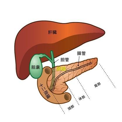 膵臓の解剖